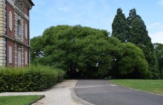 Le sophora de Montry (77) , 1000 m² d'emprise au sol . Un arbre remarquable à découvrir avec le CAUE77