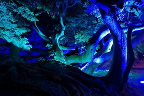 Mise en lumière du Sophora du Japon de  Montry  (77)  par le CAUE77  en juin 2019 -  Dans les murs de l'EPIDE -