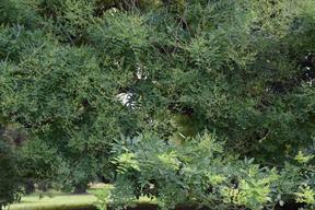 Détail du feuillage léger (folioles pointues vert foncé) et des gousses pendantes.