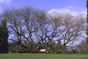 Le sophora de Montry (77) , un arbre remarquable à découvrir avec le CAUE77